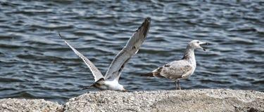 Ett Seagullsamtal Royaltyfri Bild
