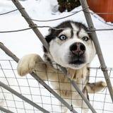 Ett Siberian skrovligt för nyfiken hund fick upp på dess bakre ben och klibbade I arkivbild