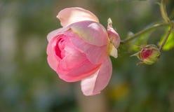 Ett sidoslut upp sikt av Eden Rose, aka 'Pierre de Ronsard 'steg, blomman i en vårblom, med ljust - rosa och vita färger fotografering för bildbyråer