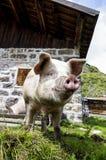 Ett sjungande svin arkivfoton