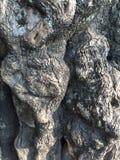 Ett skäll av ett jätte- träd royaltyfri foto