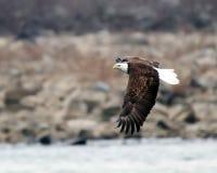 Ett skalliga Eagle flyg arkivfoto