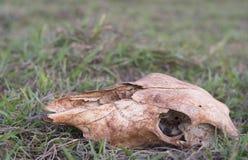 ett skelett- huvud för ko på lantgården Royaltyfria Foton