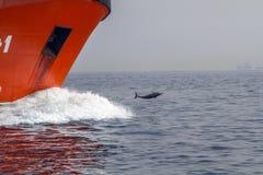 Ett skott av en delfin som surfar på en våg Royaltyfri Bild