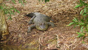 Ett skott av en krokodil på land lager videofilmer