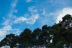 Ett skott av ett skatasammanträde i ett högväxt sörjer trädet mot en blått sk Royaltyfria Bilder