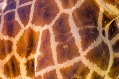 Ett slut av en giraff mönstrade upp hud på 3rd April 2018 Fotografering för Bildbyråer