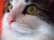 Ett slut av en kattrosa färg nose upp Fotografering för Bildbyråer