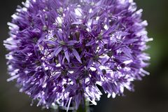 Ett slut av en purpurfärgad blomma royaltyfri foto