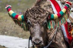 Ett slut av en tämjd Yak dekorerade upp med ull för ritt på Tsomgo sjön, Sikkim, Indien arkivbild