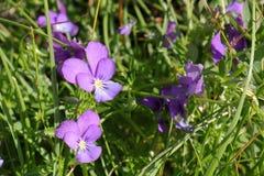 Ett slut av lösa Violets blommar upp, det Rila berget royaltyfri foto