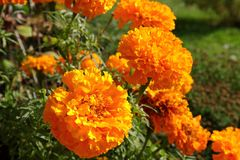 Ett slut av ljusa orange ringblommor blommar upp i en trädgård arkivbild