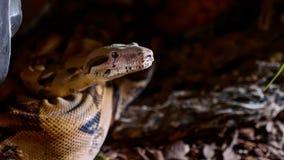 Ett slut av ormar vänder mot upp, ögon och tungan Stående av den mperial boaen royaltyfria bilder