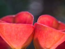 Ett slut sköt två av röda blommor Arkivfoto