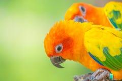 Ett slut sköt upp av härlig färgrik papegoja för solconure Royaltyfri Bild