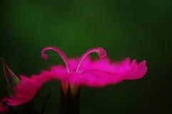 Ett slut upp av chinensis rosa pistillar av dianthusen Arkivbilder