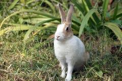 Ett slut upp av den gulliga lilla kaninen, kaninsammanträde på grönt gräs Royaltyfri Bild