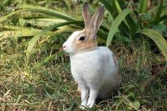 Ett slut upp av den gulliga lilla kaninen, kaninsammanträde på grönt gräs Royaltyfria Foton