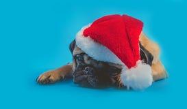 Ett slut upp av en brun mopshund som ser en kamera p? en bl? bakgrund arkivfoto