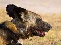 Ett upp av en ensam försedd med krage lös hund i den Hwange nationalparken Royaltyfri Fotografi