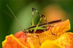 Ett slut upp av en gräshoppa Arkivbilder