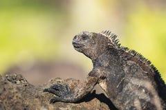 Ett slut upp av en Marine Iguana Arkivbild
