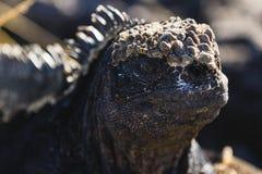 Ett slut upp av en Marine Iguana Royaltyfri Bild