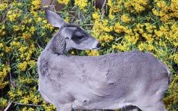 Ett slut upp av en mulahjort Fotografering för Bildbyråer