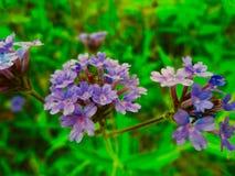Ett slut upp av en purpurfärgad blomma i en äng Fotografering för Bildbyråer