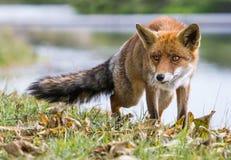 Ett slut upp av en räv i natur arkivfoton