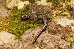 Ett slut upp av en salamander för Weller ` s Arkivfoton