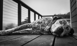 Ett slut upp av en stor ta sig en lurhund på ett trädäck, i svartvitt royaltyfria bilder