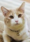 Ett slut upp av en Tabby Cream Cat Arkivfoton