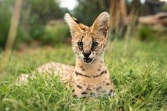 Ett slut upp av en tierboskat som kopplar av i gräset Fotografering för Bildbyråer