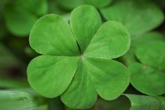 Ett slut upp av en verklig grön växt av släktet Trifolium med dagg på den och en grön mjuk-fokus royaltyfri bild