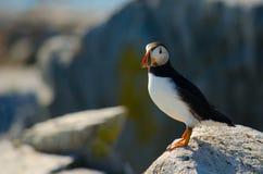 Ett slut upp av ett anseende för atlantisk lunnefågel på en vagga Fotografering för Bildbyråer