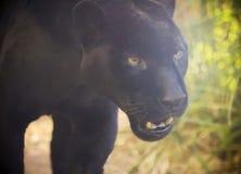 Ett slut upp den svarta pantern, Pantheraonca Royaltyfria Bilder