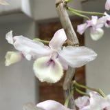 Ett slut upp fotoet av orkidén Royaltyfri Fotografi