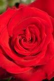 Ett slut upp makroskott av en röd ros med vattensmå droppar Arkivbilder