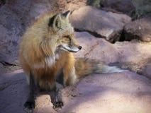 Ett slut upp ståenden av en röd räv Arkivbilder