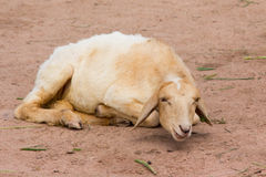 Ett sova får i en lokal lantgård arkivbild