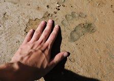 Ett spår av en brunbjörn Royaltyfria Bilder
