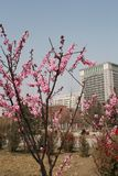 Ett ställe var persikablomningarna är oavkortad blom royaltyfria foton