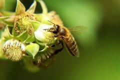 Ett större europeiskt honungbi, apismelliferasammanträde på blom av hallonet i vår trädgård fotografering för bildbyråer