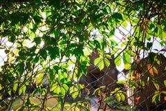ett staket, bevuxna unga gröna jungfru- druvor royaltyfri fotografi