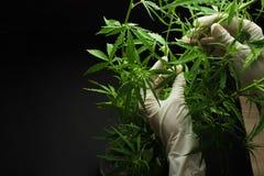 Ett stort antal cannabisblommor i händerna av medicinska arbetare av begreppet av överflödande odling Med tomt utrymme för wr royaltyfria foton