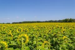 Ett stort antal mognade solrosor som vänds tillbaka fotografering för bildbyråer