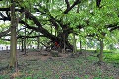 Ett stort banyanträd Arkivfoton