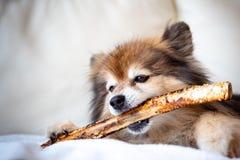 Ett stort ben för Pomeranian tuggning A royaltyfri foto