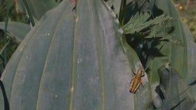 Ett stort blad med en gräshoppa stock video